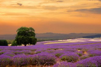Lavender Fields at Sunset on the French Countryside